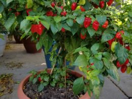 Best fertilizer for hot peppers